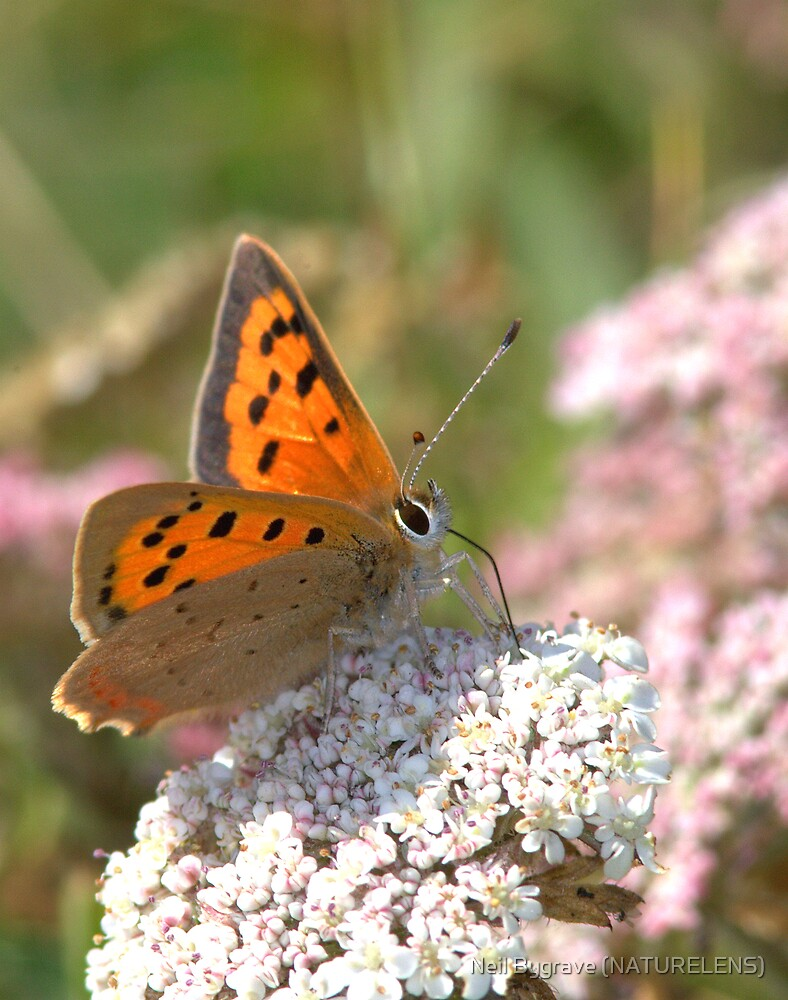 Small Copper Butterfly by Neil Bygrave (NATURELENS)