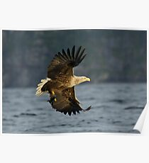 Sea eagle with fish Poster