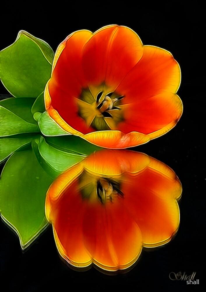 Orange Tulip by shall