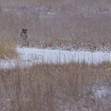Stinkin' Coyote by jayryser