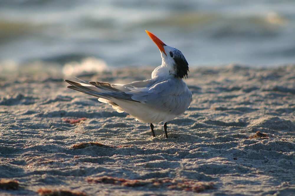 Royal Tern by Sol Whiteley