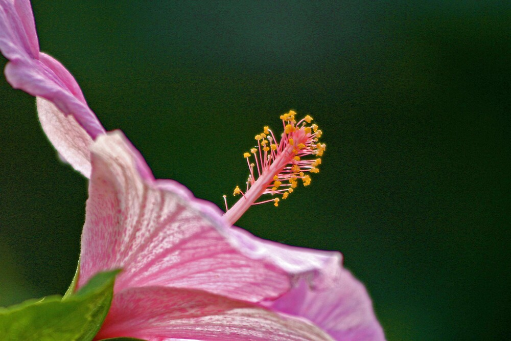 pink hibiscus by Sol Whiteley
