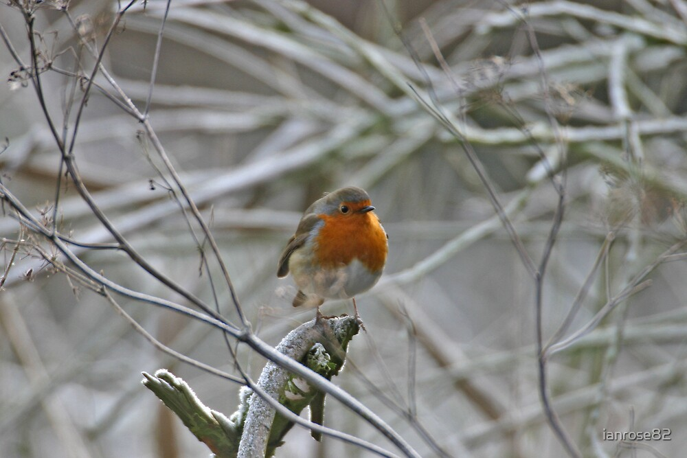 Robin in the frost by ianrose82
