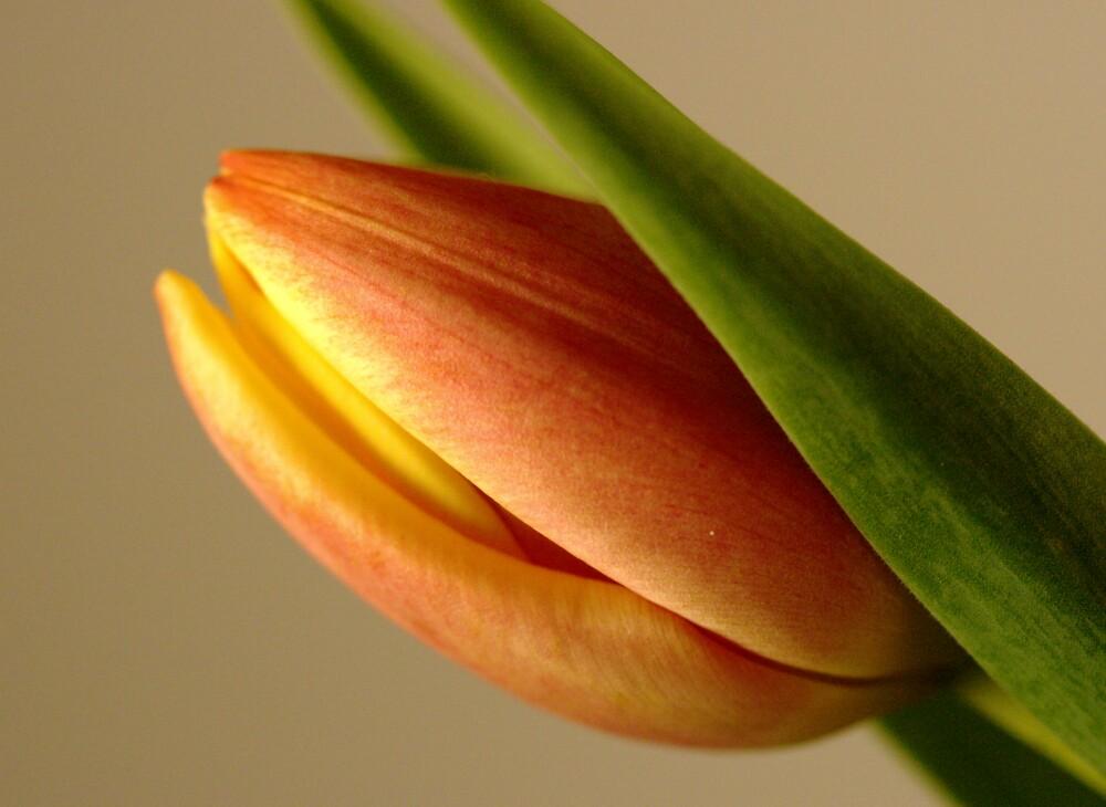 Tulip by frankrefischer