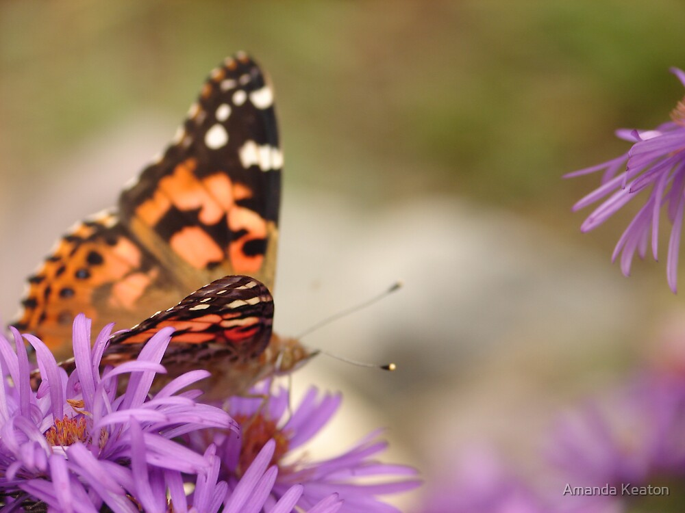 Painted Lady and The Aster by Amanda Keaton