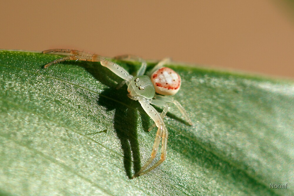 Flower Spider, Diaea evanida by Normf
