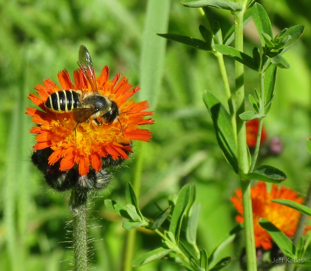 Bee and Flower by Jeff Kalles