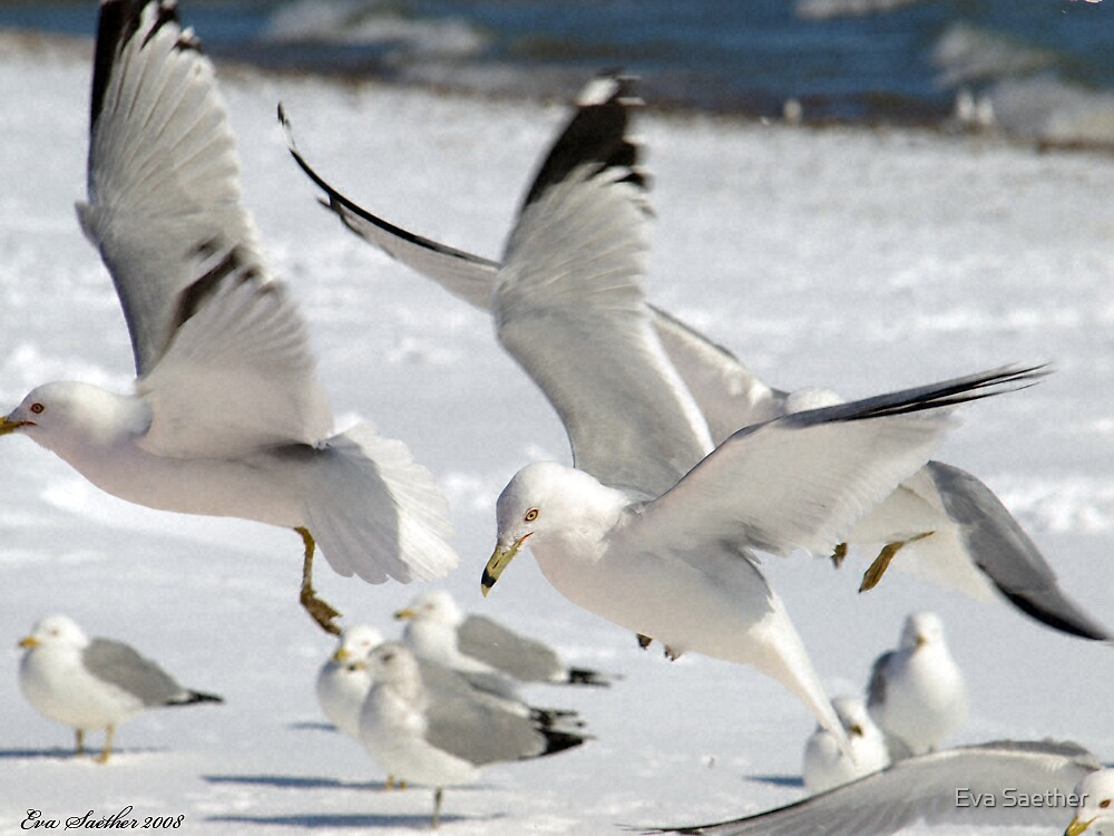 Gulls in Flight by Eva Saether