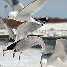 Gulls Hovering  by Eva Saether