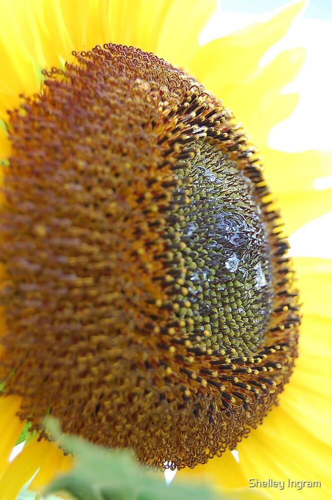 Sunflower by Shelley Ingram