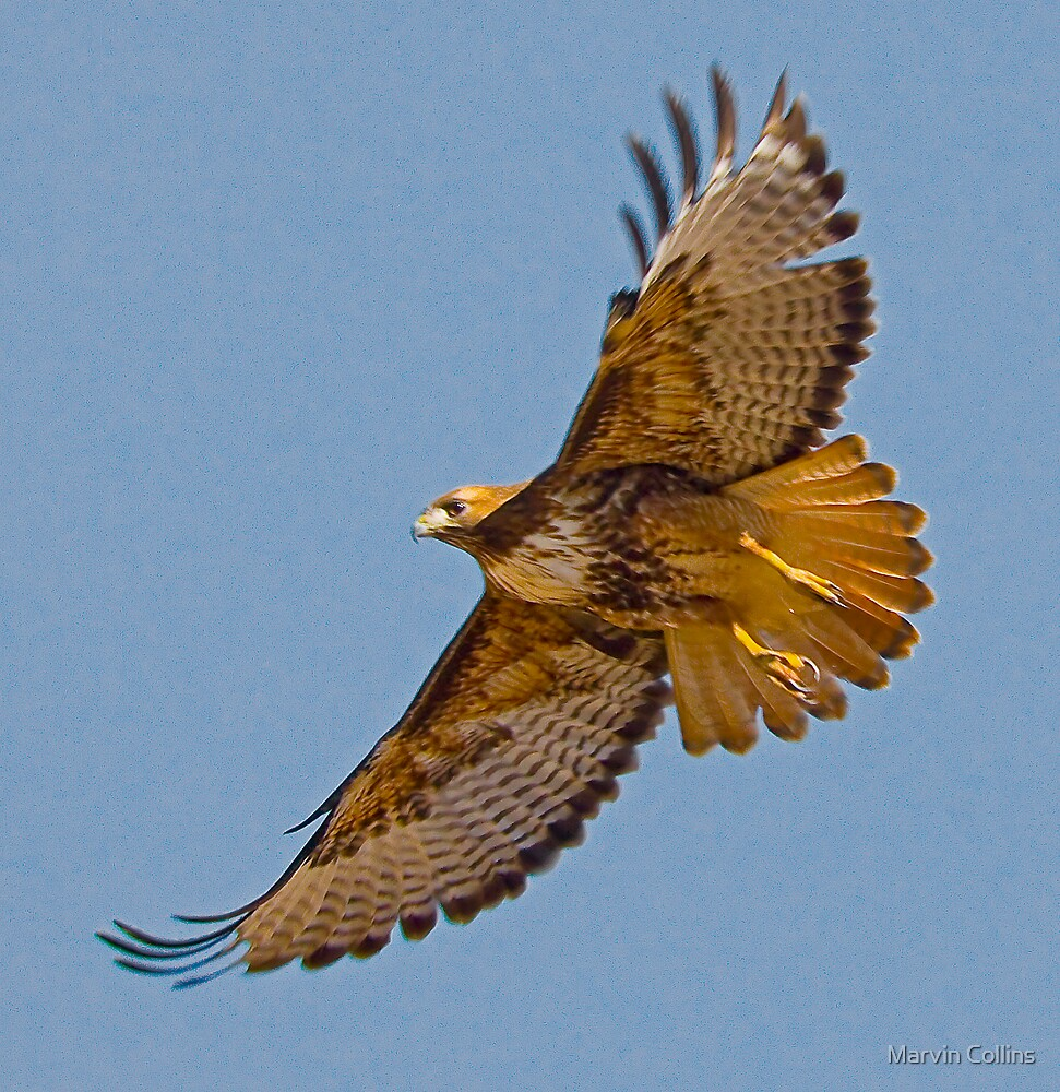 Elfrida Red-Tailed Hawk by Marvin Collins