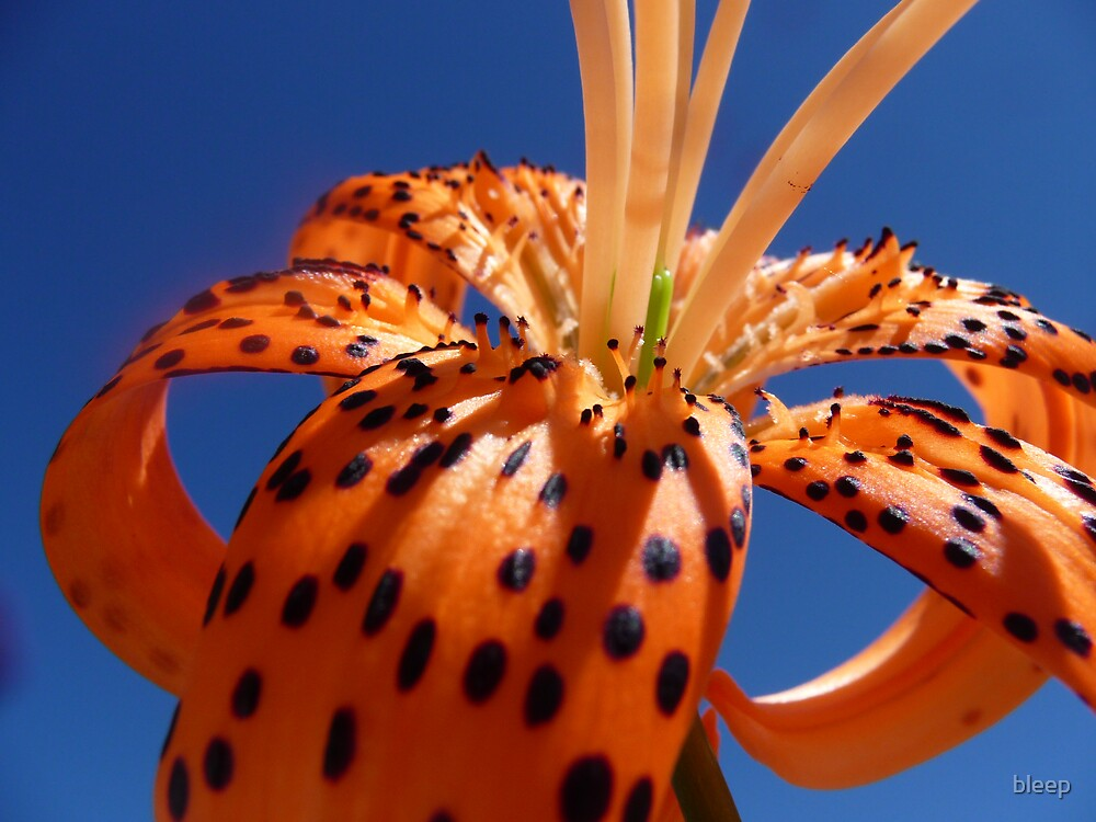 Tiger Lily 2 by bleep