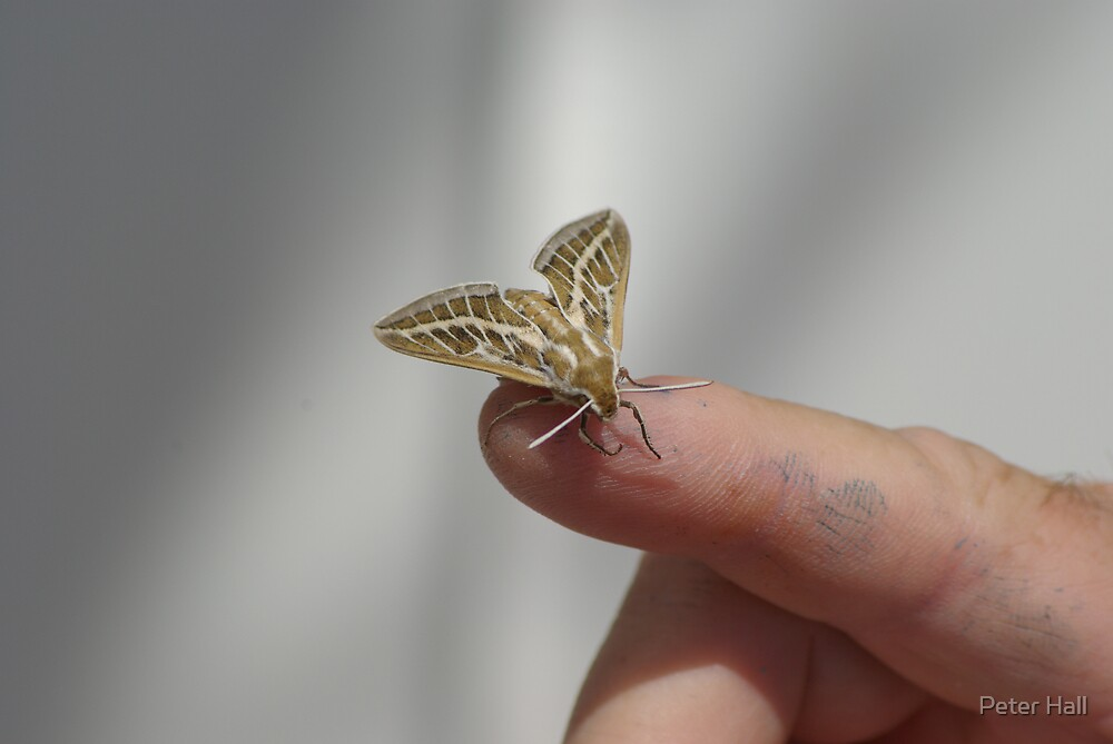 Unidentified moth, on board OMS Terra Nova, at Exmouth WA by Peter Hall