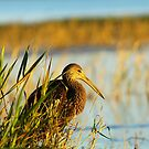 Limpkin by Howard S Taylor