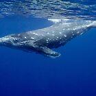 Humpback whale calf, Vava'u, Tonga by Erik Schlogl