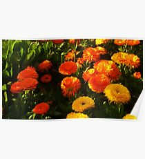 Chrysanthemum garden Poster