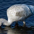 IBIS searching for food by TJ Baccari Photography