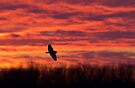 Short-eared owl hunting at sunset by Jim Cumming