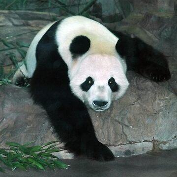 Panda by TrickiWoo