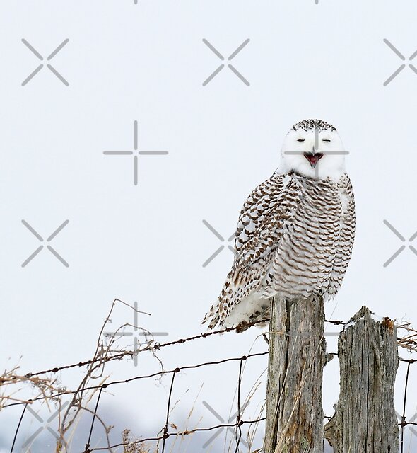 A snowy owl and a fox walk into a bar by Heather King