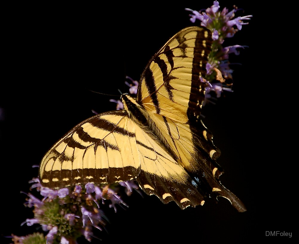 Butterfly on Black by DMFoley