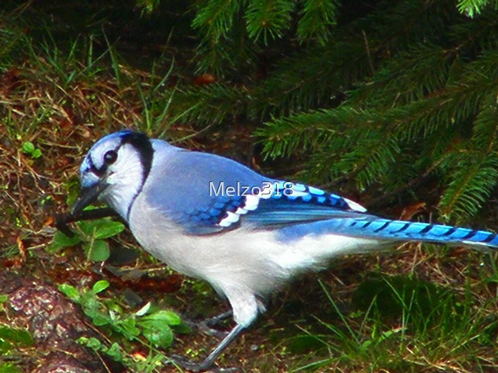 Little Blue, Blue Jay by Melzo318