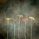 Gerbera by Joana Kruse