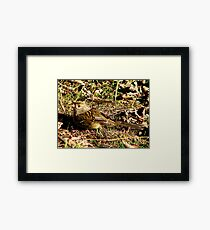 Young Golden-crowned Sparrow Framed Print