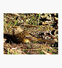 Young Golden-crowned Sparrow Photographic Print