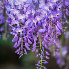 Hanging - Wisteria by hinting