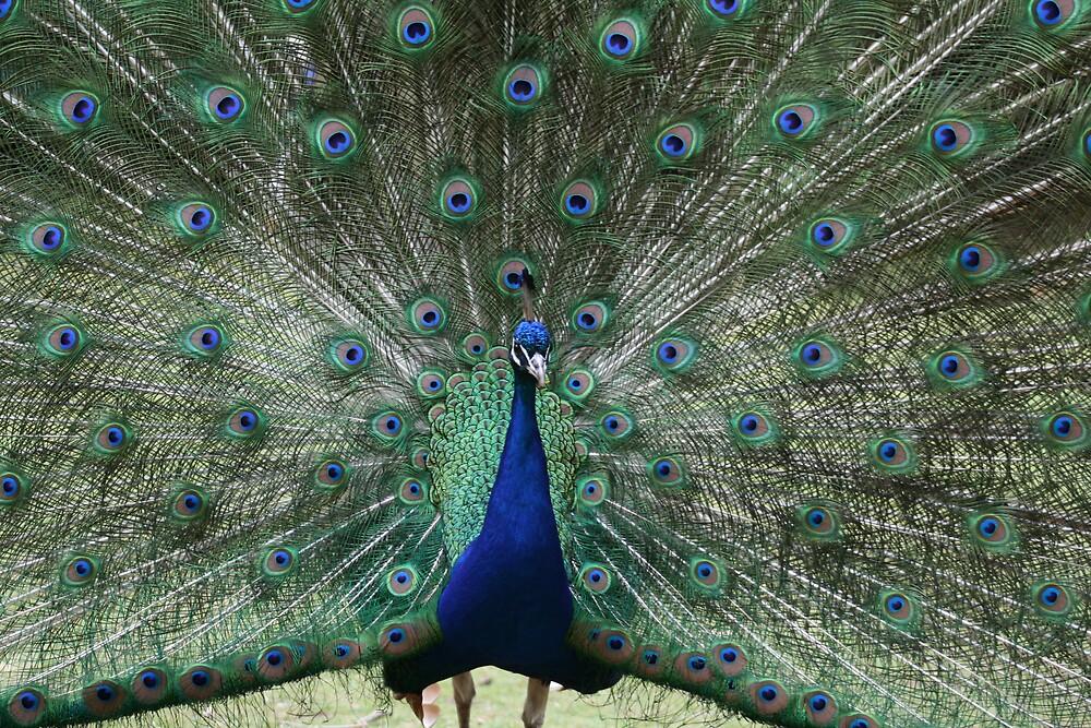 Peacock by bjshearn