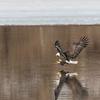 Bald Eagle 2018-2 by Thomas Young