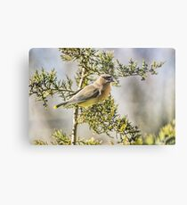 Waxwing in the Cedar Metal Print
