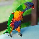 Rainbow Lorikeet by GailD
