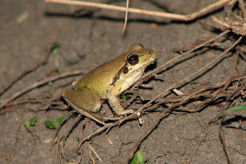 Stoney Creek Frog by Dave Fleming