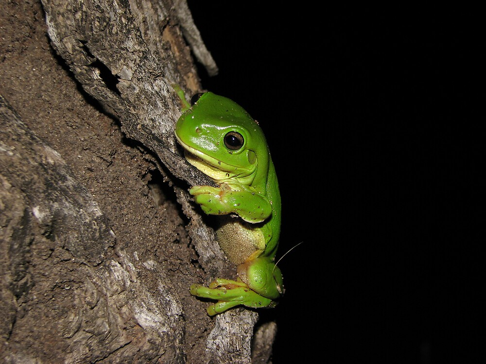 Green Tree Frog by Dave Fleming