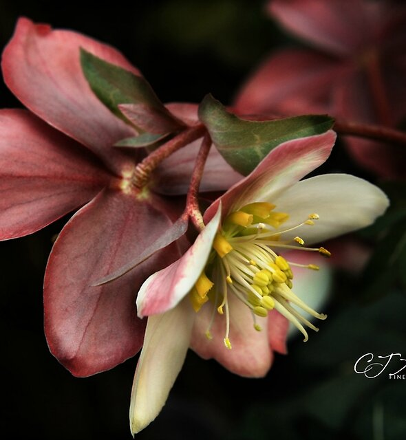 The Lenten Rose by CJ Anderson