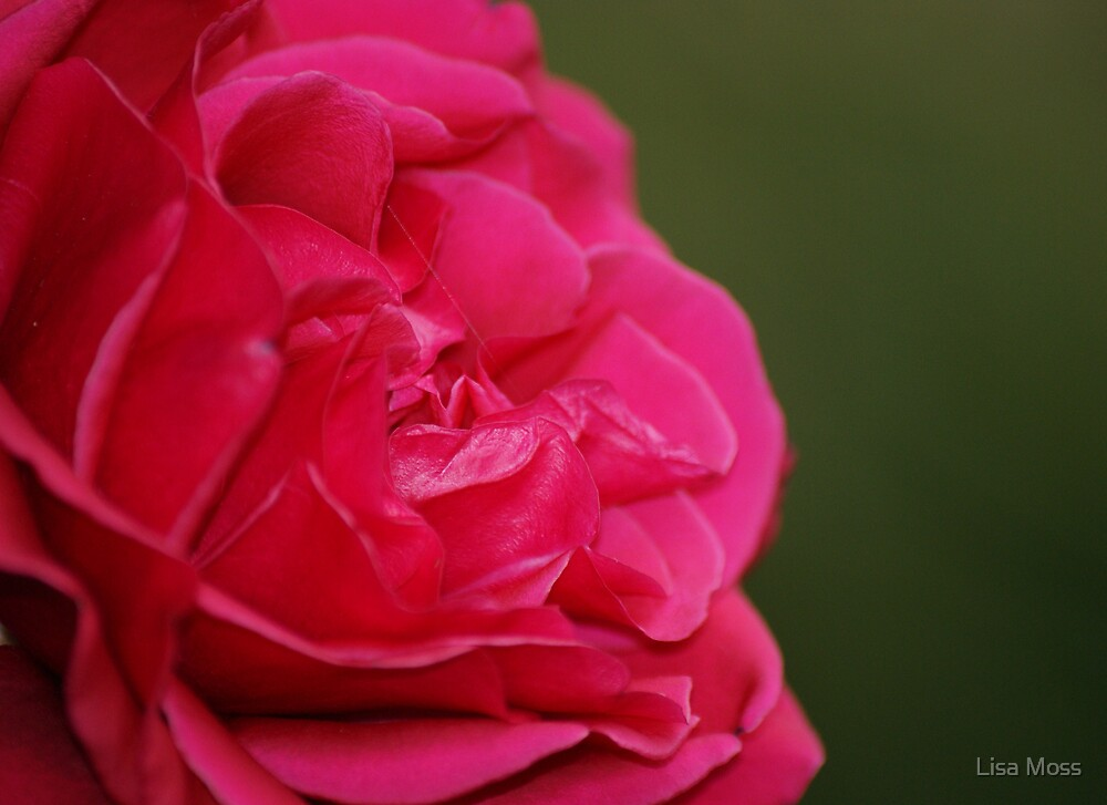 Rose II by Lisa Moss