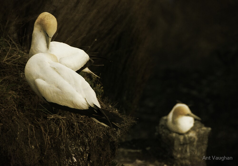 Gannets by Ant Vaughan
