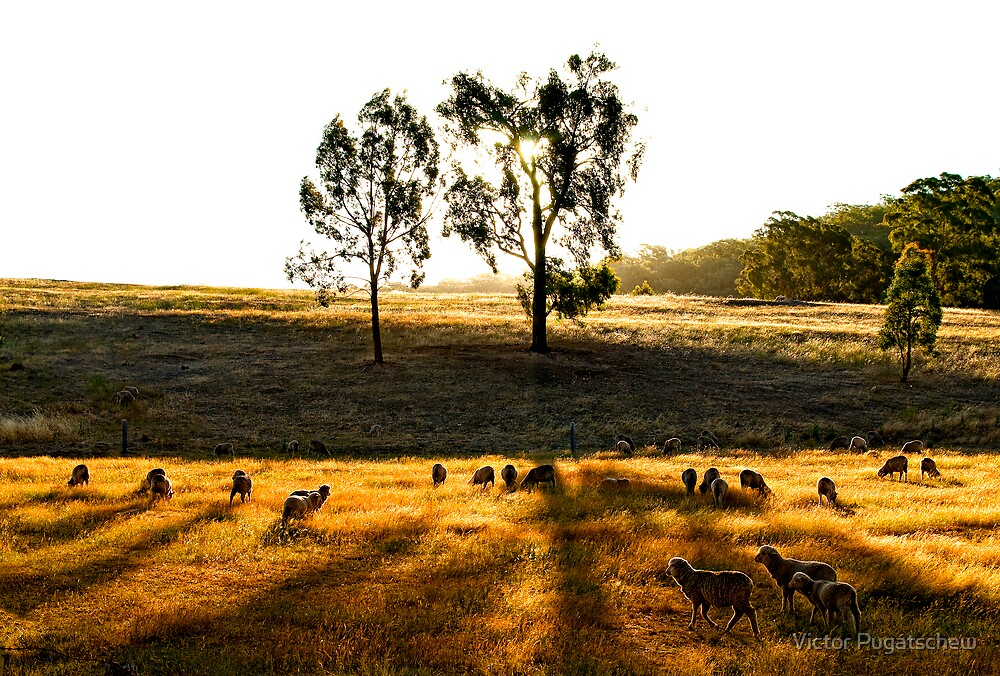 Sheep at dawn by Victor Pugatschew