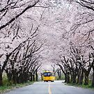 Yellow bus passing cherry blossom tunnel  by Hotaik  Sung