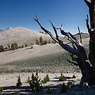 Bristlecone Pine in Patriarch Grove by Hotaik  Sung