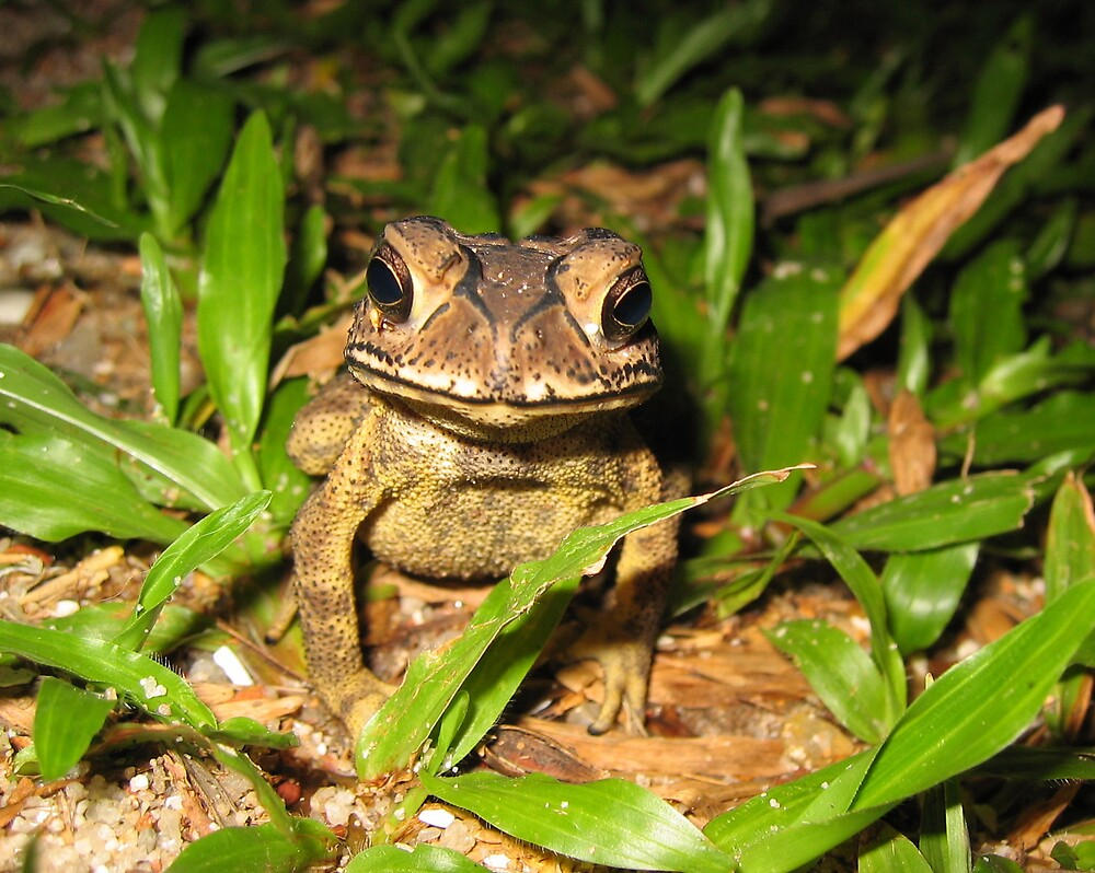 Frog (Toad?) by barryJohnReid