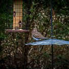 DOVE AT HBSP by TJ Baccari Photography
