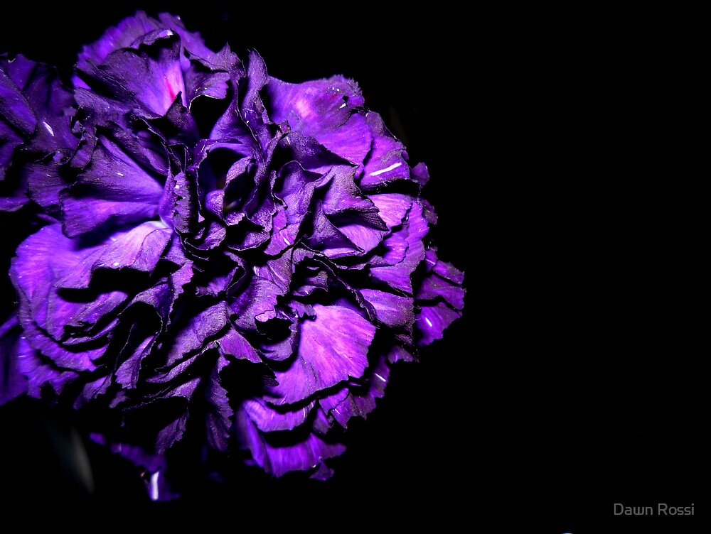 purple carnation by Dawn Rossi