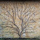 Espaliered fruit tree by peteton