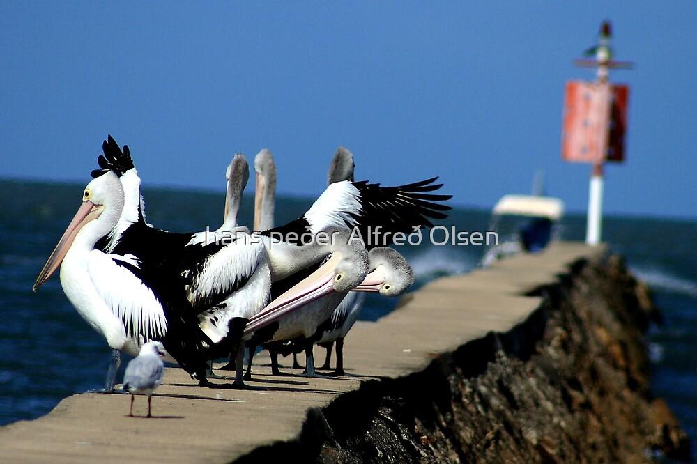 Pelicans by hans p olsen