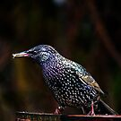 Somerset Starling by Olivia McNeilis
