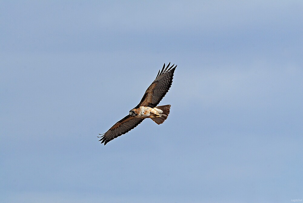 Male Adult Red Tailed Hawk by raptrlvr