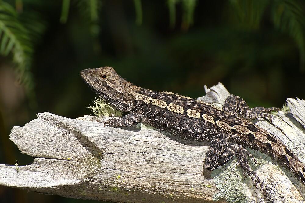 Jacky Lizard(Amphibolurus muricatus) by Melva Vivian
